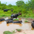 Herd of buffalo resting in water — Stock Photo