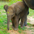Stock Photo: Young elephant