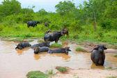 Troupeau de bisons au repos dans l'eau — Photo