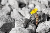 Little yellow flower rises up — Stock Photo