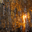 Stock Photo: Sunset in a birch forest