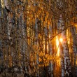 Sunset in a birch forest - Stock Photo