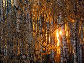 Pôr do sol em uma floresta de bétula — Fotografia Stock