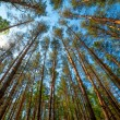 Pine forest — Stock Photo #26225219