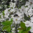 Blooming bird-cherry tree — Stock Video
