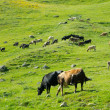Cows graze in the valley river Enguri in Svaneti — Stock Photo
