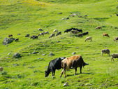 Cows graze in the valley river Enguri in Svaneti — Stock Photo