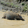 Pig in a puddle — Stock Photo