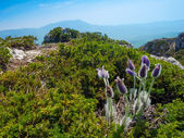 Pulsatilla patens in Crimea — Stock Photo