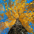 Tree with yellow autumn leaves — Foto Stock
