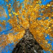 Tree with yellow autumn leaves — Stok fotoğraf