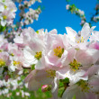 Blooming apricot tree — Stock Photo