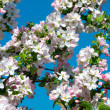 Blooming apricot tree — Stock Photo #36388799