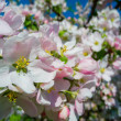 Blooming apricot tree — Stock Photo #36388805