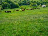Paarden grazen in een weide — Stockfoto