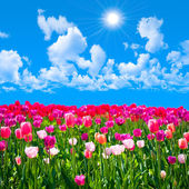 Meadow of tulips on a background of blue sky with clouds — Foto Stock