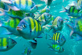 Group of coral fish in Andaman Sea — Stock Photo