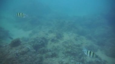 Group of coral fish in Andaman Sea — Stock Video