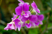 Wild orchid — Stock Photo