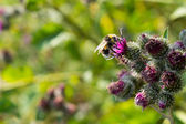 Bee pollinating flowering Great Burdock — Stock Photo