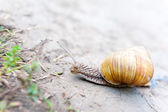 Snail crawling — Stock Photo