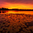 Tranquil Lilypad Sunrise — Stock Photo