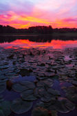 Lily Pads Sunrise — Stock Photo