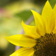 Sunflower — Stock fotografie