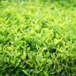 Tea leafs farm close up — Stock Photo