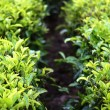 Tea leaf farm — Stock Photo