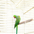 Parrot in the cage — Foto Stock