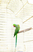 Parrot in the cage — Stock Photo