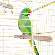 Parrot in the cage - Stockfoto