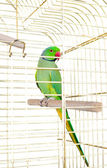 Parrot in the cage — Photo
