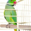 Parrot in the cage — Stock Photo #38657933