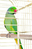 Parrot in the cage — Stock fotografie