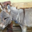 Stock Photo: Little donkey