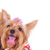 Bonito pequeno yorkshire terrierładny mały yorkshire terrier — Zdjęcie stockowe