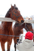 Alimentación de caballos — Foto de Stock
