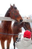 Feeding horses — Stock Photo