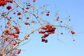 Ash berries — Stock Photo