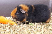 Cavy and carrot — Stock Photo