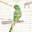 Parrot in the cage — Stock Photo #45141817