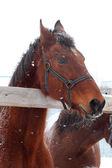 Alimentazione cavalli — Foto Stock
