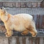 White bear — Stock Photo #49577241
