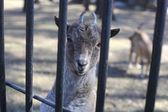 Markhor goat closeup — Stock Photo