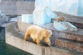 White bears — Stockfoto