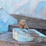 White baby bear — Stock Photo #49587711
