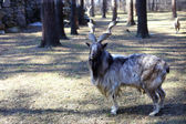 Markhor goat closeup — Stock Photo