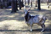 Markhor goat closeup — Stockfoto
